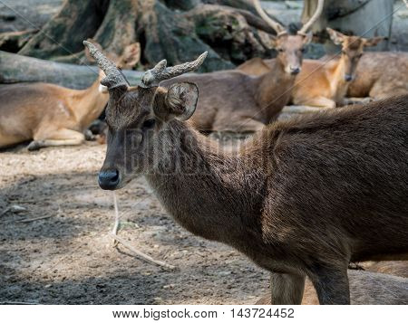 Closeup Of A Young Whitetail Deer