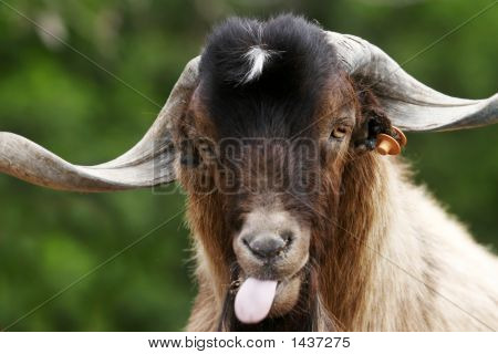 Silly Goat