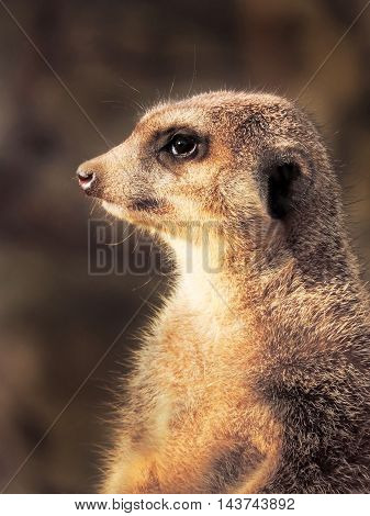 Suricate sitting in the sun  and watching out.