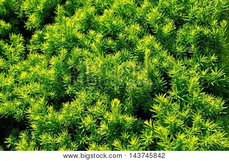 Natural green structure of the bushes. Close-up.