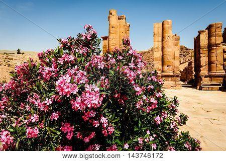 oleander shrubs and ancient pillars in old Nabataean city Petra Jordan