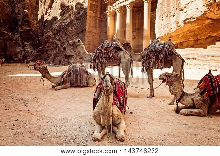 Bedouin camels resting near the treasury Al Khazneh Jordan Petra.