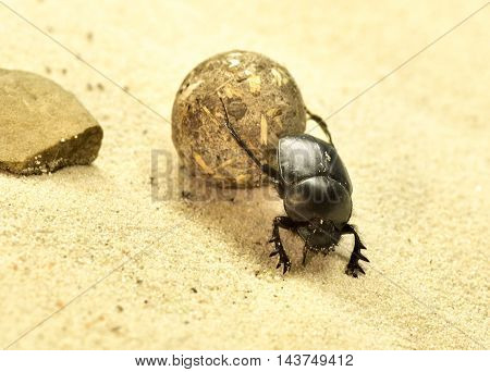 Scarab beetle in a desert, close-up shot.