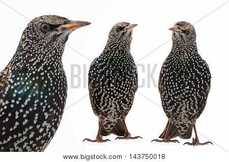 Two Starling (Sturnus vulgaris) isolated on white. Studio shot.