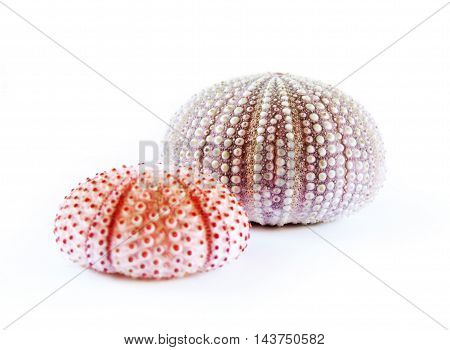 Purple sea urchins, isolated on white background.