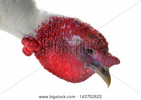 Portrait turkey isolated on a white background. Studio