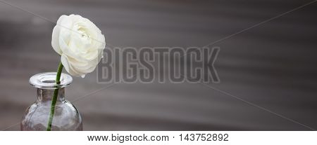 White rose on a dark background for mourning