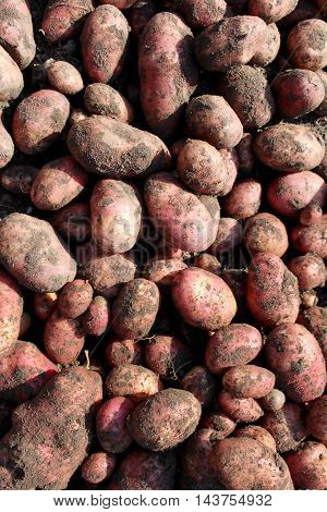 Potatoes. agricultural work. Autumn harvest. background vegetable