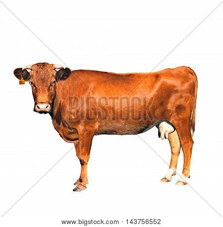 brown cow of c number isolated on a white background