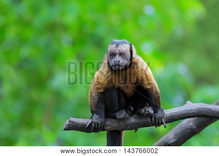 Brown Capuchin monkey sitting on a tree branch in the rainforest