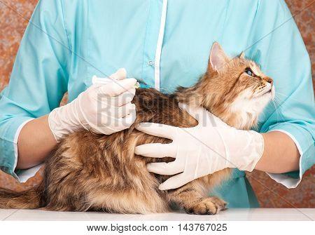 Beautiful adult siberian cat on the veterinary survey