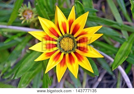 Vibrant red and yellow Gazania flower. Native to Africa