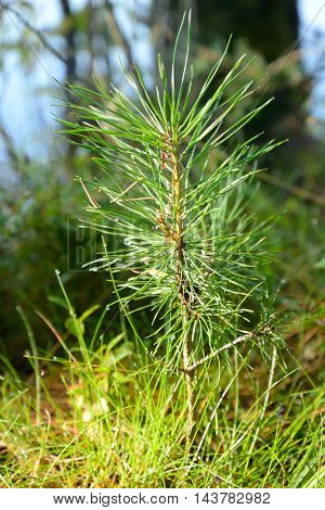Small pine tree at spring sunny day.