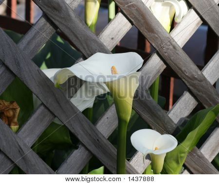 Calla Lily By A Fence