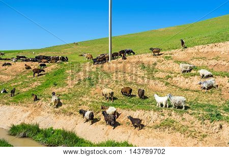 The herd of goats and sheep graze on the hill next to Beshkapa village Uzbekistan.