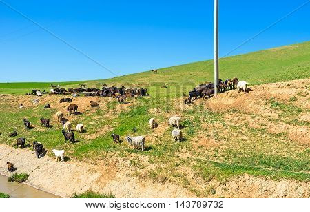 The sheep and goats on the green hill of Qashqadaryo Region Uzbekistan.