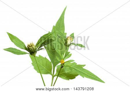 Bidens tripartita on a green background closeup