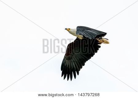 African Fish-eagle In Mid Flight