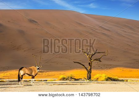 The bottom of dried lake Deadvlei, with dry trees. Ecotourism in Namib-Naukluft National Park, Namibia.  Oryx grazing in the savannah