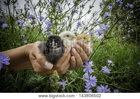 Black Yellow and white small chikcens in human's hand