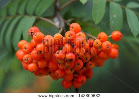Berries of a mountain ash (Sorbus aucuparia)