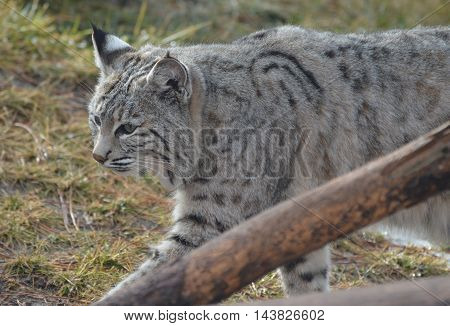 Lynx strutting around in early spring weather.