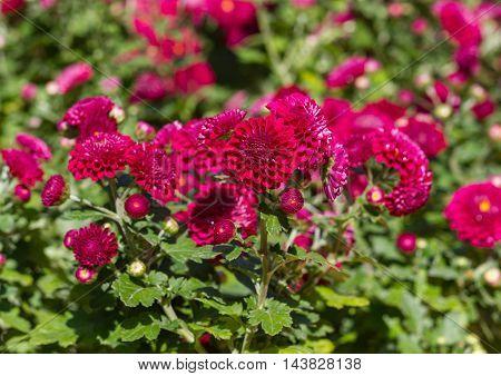 Red Helichrysum bracteatum blooming on the garden