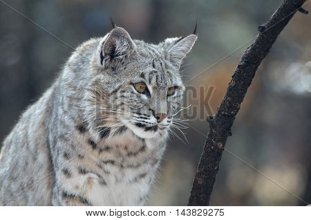 Wild bobcat on the prowl in the wilderness.