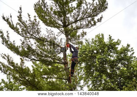 Professional Tree Trimmer Cutting The Top Off A  Pine Tree