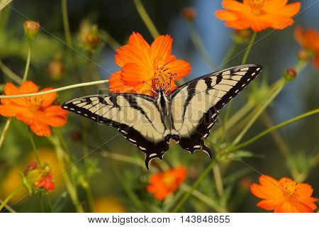 Butterfly Eastern Tiger Swallowtail On An Orange Flower Papilio Glaucus