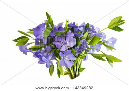 Periwinkle Vinca minor isolated on white background