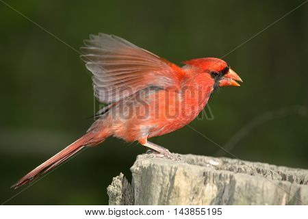 Red Bird A Northern Cardinal Male Taking Flight Cardinalis cardinalis