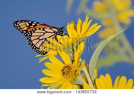 Monarch Butterfly On A Yellow Flower Danaus plexippus