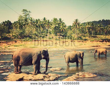 Family Asia Elephant Bath In River Ceylon, Pinnawala
