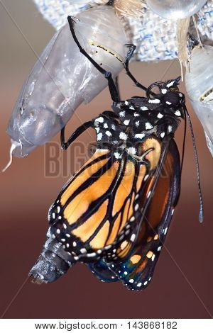 Butterfly Chrysalis Monarch Danaus plexippus Emergent Sequence Image Number 6 of 6