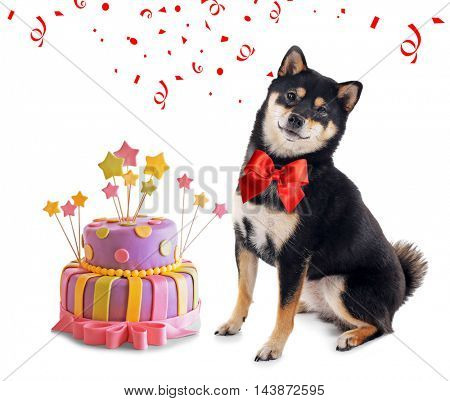 Siba inu dog and delicious birthday cake isolated on white