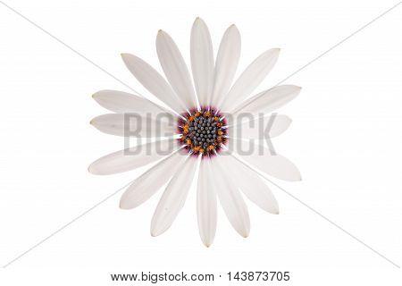 White Osteospermum Daisy or Cape Daisy Flower Flower Isolated over White Background. Macro Closeup
