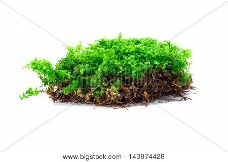 Green forest moss isolated over white background