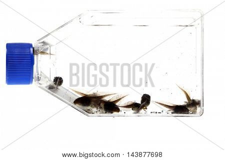 Tree Frog Tad Poles in a clear medical container. isolated on white