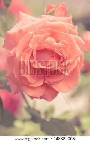 Toned image of beautiful rose in full bloom.