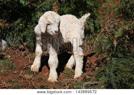 A newborn baby goat takes its first tentative steps.