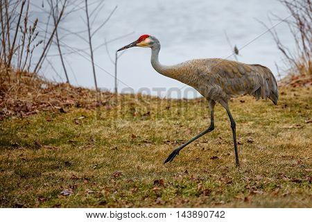 A sandhill Crane walking by the lake shore.-1.jpg