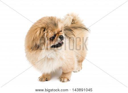 dog Pekingese portrait on a white background