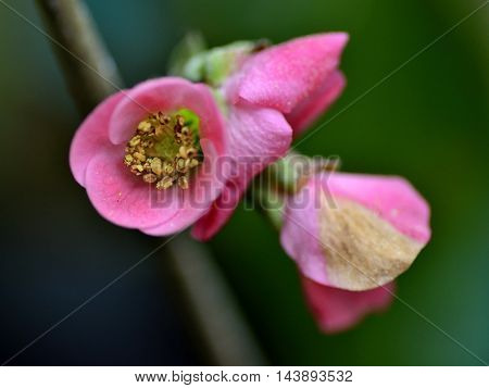 Tree Malus floribunda (apple) flower over a green background