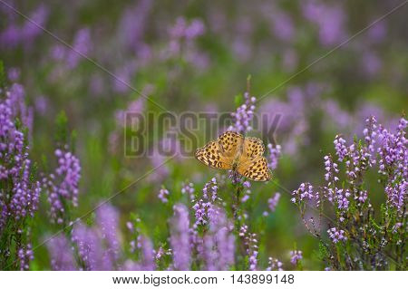 The silver-washed fritillary butterfly (Argynnis paphia) on a purple blossomed Scotch heather (Calluna vulgaris) bush
