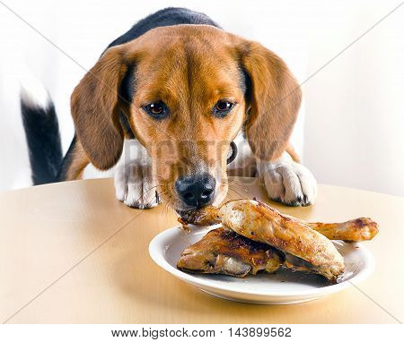 Beagle Dog Eating Chicken Legs On Table