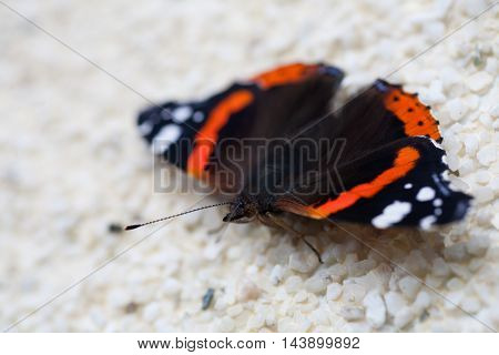 Closeup of a Red Admiral butterfly (Vanessa atalanta)