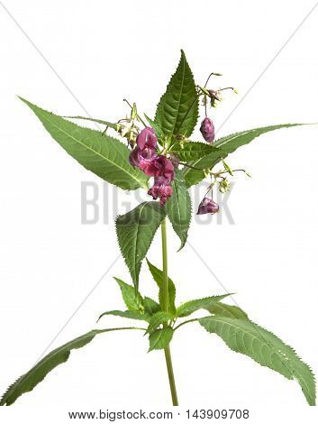 Impatiens glandulifera on a white background close up