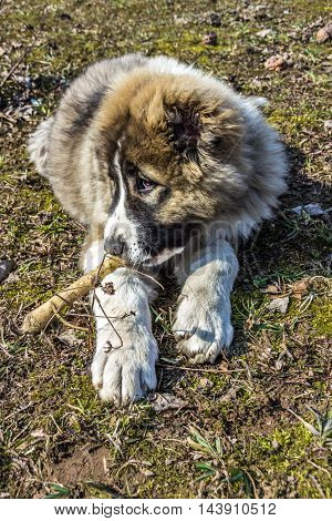 Fluffy Caucasian shepherd dog is lying on the ground and gnawing the stick