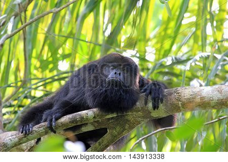Black howler monkey, aluatta pigra, sitting on a tree in Belize jungle and looking sad. They are also found in Mexico and Guatemala. They are eating mostly leaves and occasional fruits.
